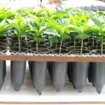 Tubetes – A ferramenta útil na produção de mudas de café