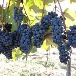 Maturação e colheita das uvas