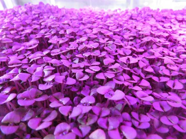 Microverde é a fase da planta após a germinação e antes das folhas totalmente desenvolvidas - Crédito Tom Oberlin