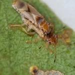 Pesquisa estabelece controle biológico para principal praga exótica do eucalipto