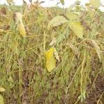 Resistência na ferrugem da soja ganha força