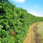 Organominerais beneficiam a cafeicultura