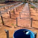 Plantios tardios de cedro australiano e adequação ao clima são boas oportunidades