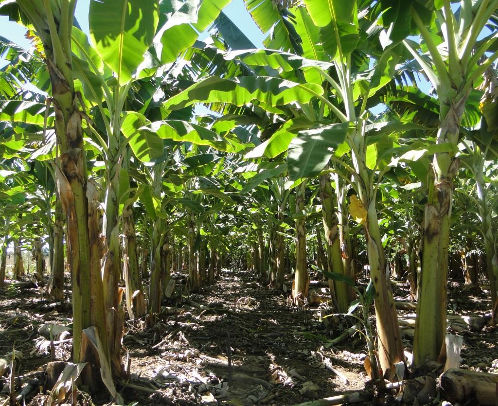 A banana da terra requer abundante quantidade de água disponível no solo - Crédito Maria Geralda Vilela
