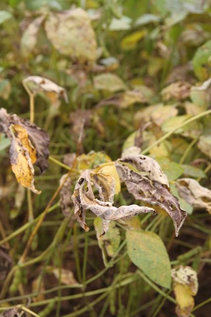 Sintomas de ferrugem asiática em folha de soja - Crédito Ana Maria Diniz