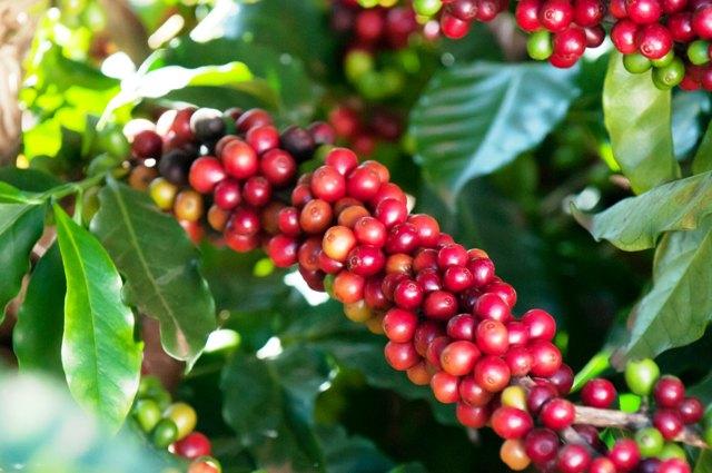 Crédito O'Coffee