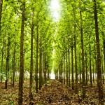 Floresteca –A maior produtora de teca do mundo
