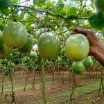 Produção de maracujá –Um dos segredos do sucesso está na colheita