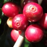 Aminoácidos proporcionam maturação uniforme do café