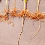 Pesquisa comprova eficácia do FertBokashi Premium no combate aos nematoides