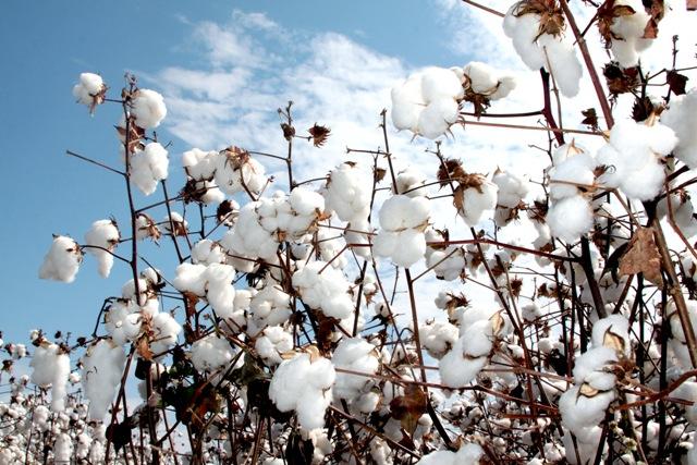Atualmente, uma tonelada de algodão vale, em Minas Gerais,cerca de R$ 6.133,00 - Crédito Catarina Guedes