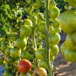 Ciência por trás do tomate – 10 curiosidades do tomate que está na sua salada e você não sabia