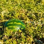 Melancia com menos sementes e mais compacta para o consumidor