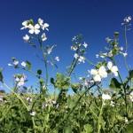 Adubação verde –A natureza a serviço da natureza