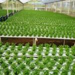 Produção de coentro em cultivo protegido
