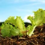 Ácidos húmicos e fúlvicos –Resultados para as folhosas