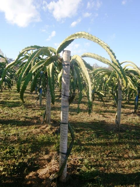 As-pitayas-são-adaptadas-a-ambientes-quentes-ou-áridos-Crédito-Ellison-de-Oliveira