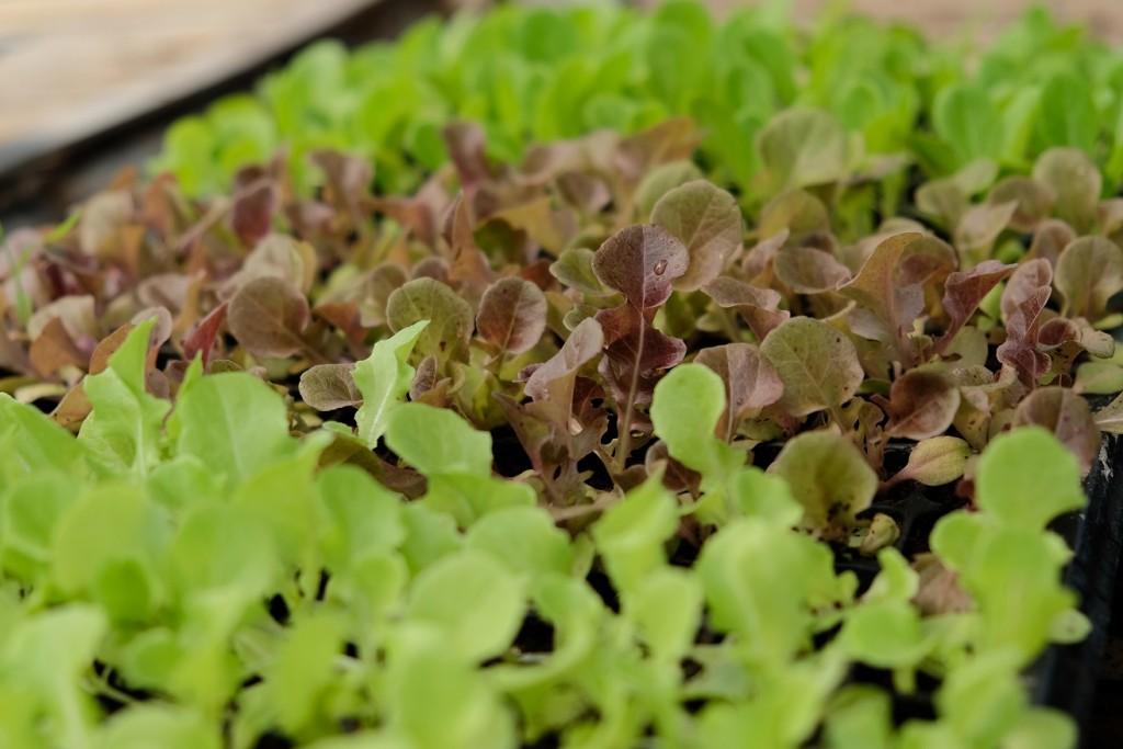 O cultivo de baby leaf tem valor superior e o menor tempo de cultivo - Crédito Shutterstock