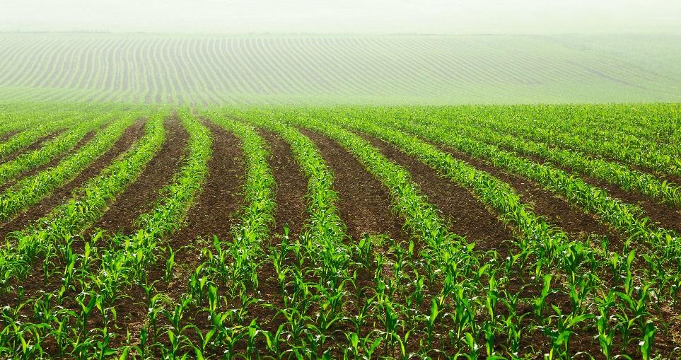 A soma térmica varia de região para região, por isso o milho tem que ser adaptada para o local - Crédito Shutterstock