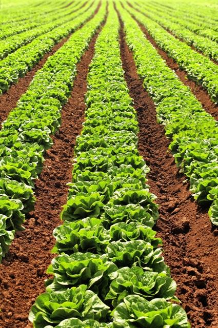 Atualmente, o cultivo de alface pode ser realizado em todas as regiões brasileiras - Crédito Shutterstock