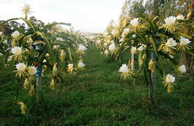 Florada-de-Hylocereusundatus-Crédito-Ellison-de-Oliveira