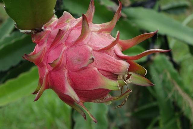 A pitaya é uma Cactaceae - Crédito Pixabay