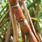 Ácidos húmicos aumentam em 11% matéria seca da cana