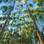 UFV faz parceria com empresas florestais para produzir eucaliptos resistentes à seca