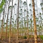 Efeitos dos desbastes florestais no diâmetro, altura das árvores e na rentabilidade