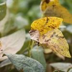Rede de ensaios divulga eficiência dos fungicidas contra ferrugem da soja