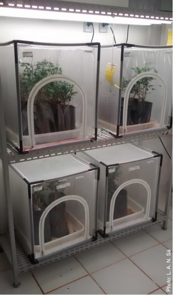 Adultos da praga Diaphorinacitri sobre planta hospedeira e gaiolas de criação de insetos para os biotestes