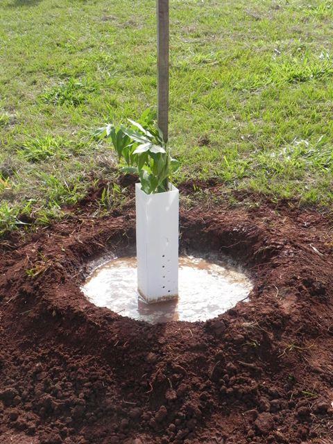 Plantio de muda de noz-pecã - Crédito Carlos Roberto Martins