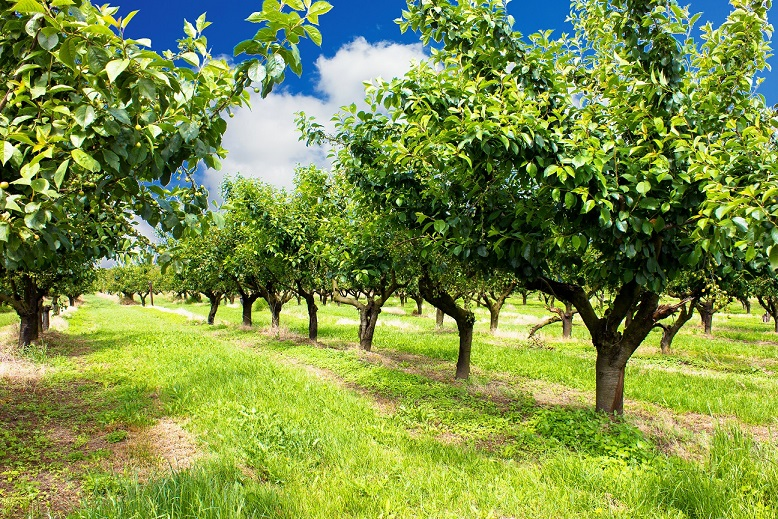 Pretende-se verificar a utilização de D. aligarhensisem pomares cítricos no controle biológico da praga D. citri