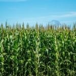 Só confiança entre sementeiro e agricultor vence pirataria