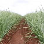 Híbridos de cebola –Maior durabilidade pós-colheita