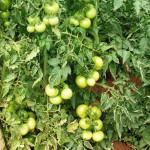 Medidas de controle das doenças do tomateiro