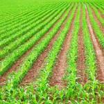 Adubação no sulco do milho garante melhor arranque