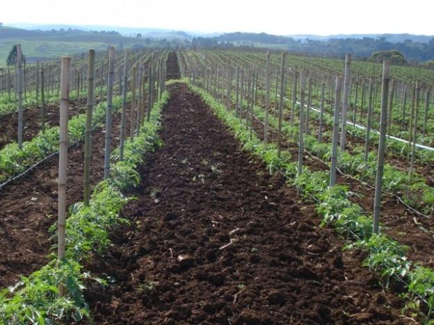 O manejo integrado tem se mostrado mais eficiente no controle de doenças do tomateiro - Crédito Clevison  Michelon