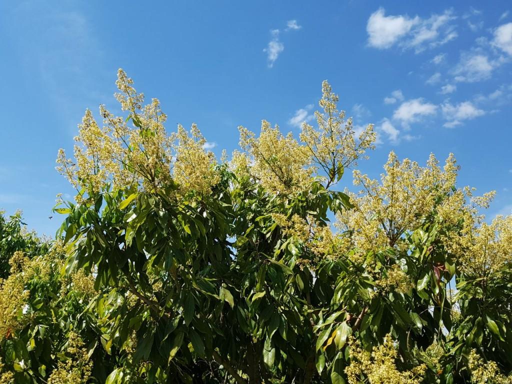A floração ocorre entre os meses de junho e julho - Crédito Osvaldo Kiyoshi