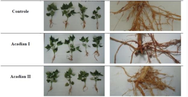 Com uso de algas observou-se, aos 30 dias após emergência, maior nodulação e desenvolvimento do sistema radicular