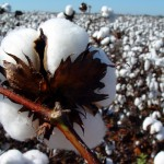 Sementes de algodão –O alicerce da produtividade