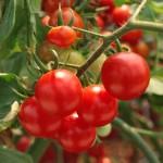 Aminoácidos reduzem doenças do tomateiro