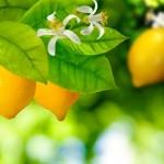 Aminoácidos garantem boa floração em limoeiros