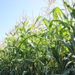 Importância dos fertilizantes nitrogenados e sua eficiência agronômica