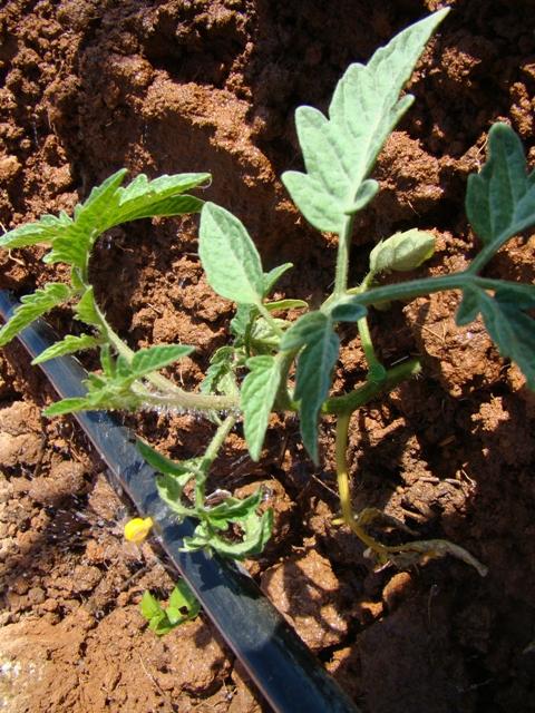 Sintomas de fusarium em tomateiro - Crédito Hélcio Costa