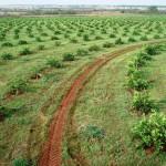 Panorama Nacional da Produção de Limão –Do Brasil para o mundo