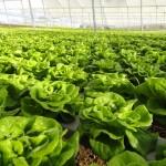 Fertilizantes com biopromotores aumentam a produção de alface hidropônica