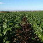Toggle – Mudando para obter maior produtividade em milho safrinha