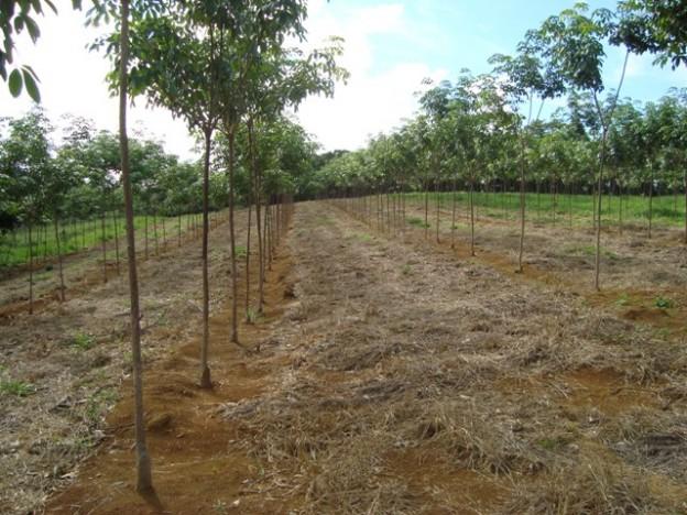 Apenas 10 árvores na idade produtiva já custeiam a mão de obra da colheita - Crédito Antônio Pádua