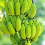 Como controlar a sigatoka amarela na bananeira